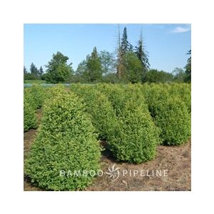 Buxus 'Green Mountain' Cone