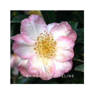 Camellia sasanqua 'Apple Blossom' Espalier