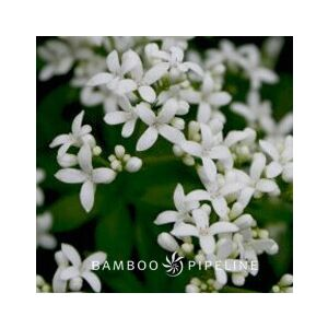 Galium odoratum (Asperula odorata)