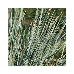 Helictotrichon sempervirens 'Sapphire' (Avena s.)