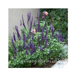 Salvia 'Mystic Spires Blue' ('Balsalmisp')