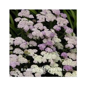 Achillea 'Apple Blossom'