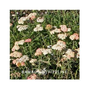 Achillea millefolium 'Salmon Beauty' ('Lachsschonheit')