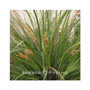Lomandra longifolia 'Breeze' ('LM300')