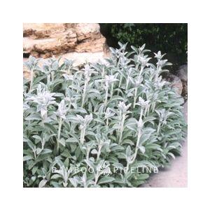 Stachys byzantina 'Silver Carpet' (S. lanata)(S. olympica)
