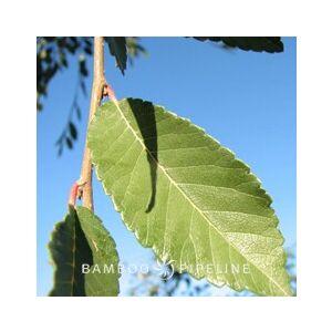 Ulmus parvifolia 'Drake' Standard