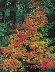 Acer Circinatum Multilow Branch