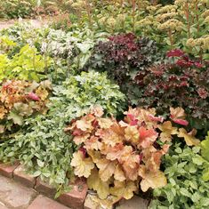 Heuchera 'Assorted Varieties'