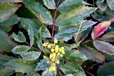 Mahonia Aquifolium Compacta Berberis A