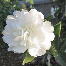 Camellia Sasanqua White Doves Mine No Yuki