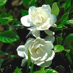 Gardenia Jasminoides U0027August Beautyu0027 (G. Augusta)