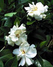 Gardenia jasminoides \u0027Veitchii\u0027 Patio Tree , Monrovia (G. augusta)