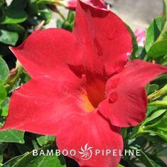 Mandevilla Sun Parasol Crimson