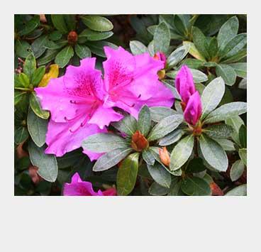 Camellias/Azaleas