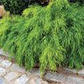 Acacia cognata 'Cousin Itt' ('Mini Cog')