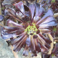 Aeonium arboreum 'Zwartkop' ('Schwarzkopf')