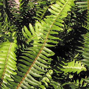 Nephrolepis cordifolia