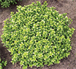 P. tenuifolium 'Golf Ball'