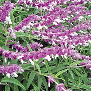 Salvia leucantha 'Santa Barbara'