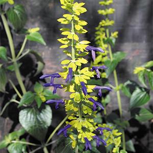 Salvia mexicana 'Limelight' ('Chartreuse')