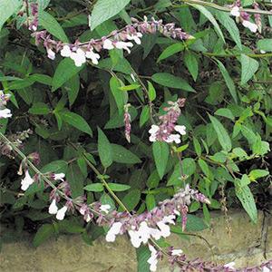 Salvia 'Waverly' (Mark's Mystery Sage)