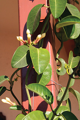 Stephanotis floribunda (Marsdenia f.)