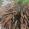 Pennisetum setaceum 'Eaton Canyon'