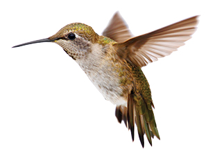 humming bird facing left
