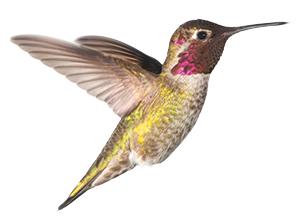 humming bird facing right